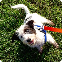 Adopt A Pet :: Poodle Mix - Fort Valley, GA