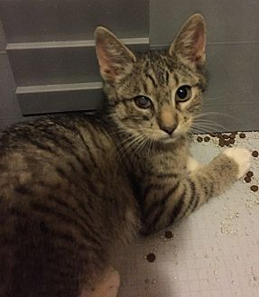 Domestic Shorthair Cat for adoption in Sacramento, California - Maddy