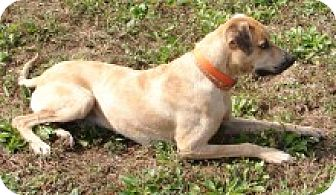 Catahoula Leopard Dog/Labrador Retriever Mix Dog for adoption in Pikeville, Tennessee - Copper