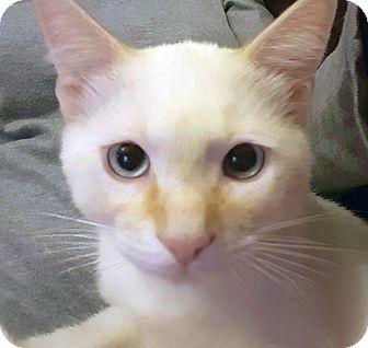 Domestic Shorthair Kitten for adoption in Arlington/Ft Worth, Texas - Marshall