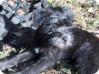 Schnauzer (Miniature)/Pomeranian Mix Puppy for adoption in Sinking Spring, Pennsylvania - Leo