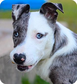 Catahoula Leopard Dog Dog for adoption in Lavon, Texas - Geroge