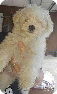 Poodle (Miniature)/Chinese Crested Mix Puppy for adoption in albany, New York - Gabian