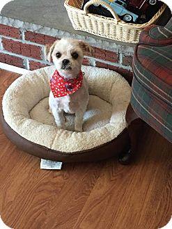 Maltese/Havanese Mix Dog for adoption in Essington, Pennsylvania - Gigi