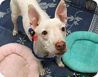 Bull Terrier/Pit Bull Terrier Mix Dog for adoption in Phoenix, Arizona - Bindi