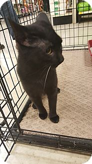 Domestic Shorthair Cat for adoption in Ortonville, Michigan - Tinkerbell