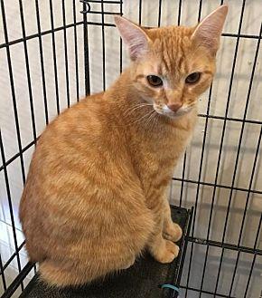 Domestic Shorthair Cat for adoption in Hammond, Louisiana - Roux