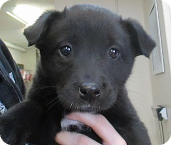 Labrador Retriever Mix Puppy for adoption in Lloydminster, Alberta - Thelma