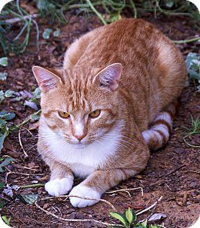 American Shorthair Cat for adoption in benton, Tennessee - lane