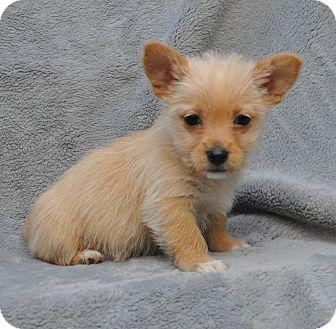 Terrier (Unknown Type, Small) Mix Puppy for adoption in Atlanta, Georgia - Chadwick