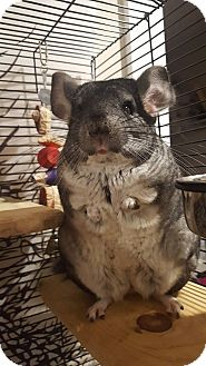 Chinchilla for adoption in Lindenhurst, New York - Chinnie