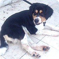 Los Angeles Ca Bernese Mountain Dog Meet Mittens A Dog For Adoption
