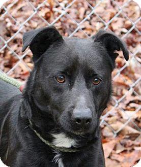 Labrador Retriever Mix Dog for adoption in Harrisonburg, Virginia - Norman