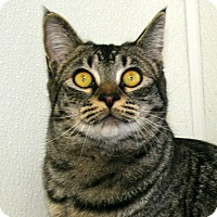 Domestic Shorthair Cat for adoption in Republic, Washington - Lyman