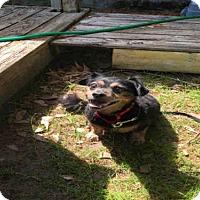 Dachshund Mix Dog for adoption in Tallahassee, Florida - RASCAL