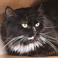 Domestic Mediumhair Cat for adoption in Colorado Springs, Colorado - Kronos