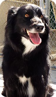 Border Collie Mix Dog for adoption in Grants Pass, Oregon - Marigold