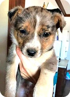Australian Shepherd/Australian Cattle Dog Mix Puppy for adoption in Boulder, Colorado - Callie