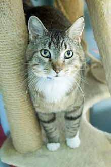 Domestic Shorthair/Domestic Shorthair Mix Cat for adoption in Evansville, Indiana - Boone
