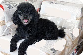 Poodle (Miniature) Dog for adoption in Marion, North Carolina - Pepper