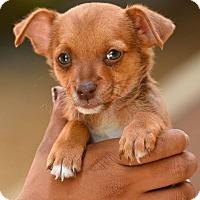 Adopt A Pet :: Diva - Los Angeles, CA
