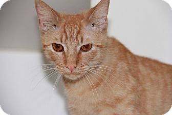 Domestic Shorthair Cat for adoption in Greensboro, North Carolina - Ginger