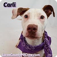 Adopt A Pet :: Carli - Toledo, OH