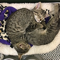Domestic Shorthair Kitten for adoption in Woodhaven, Michigan - Kittens