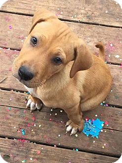 Australian Cattle Dog/Labrador Retriever Mix Puppy for adoption in Boerne, Texas - Lil Bit