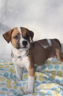 Terrier (Unknown Type, Small) Mix Dog for adoption in Davie, Florida - John A1883482