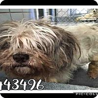 Adopt A Pet :: A443496 - San Antonio, TX