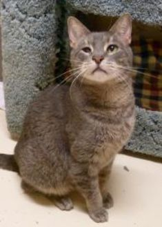 Domestic Shorthair/Domestic Shorthair Mix Cat for adoption in Westville, Indiana - Chester