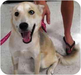 Husky Mix Dog for adoption in Houston, Texas - Georgia