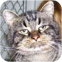 Domestic Shorthair Cat for adoption in Coleraine, Minnesota - Simon