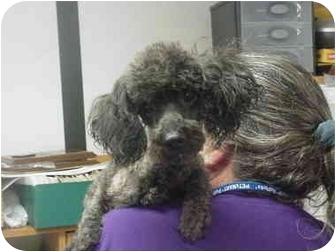 Miniature Poodle Dog for adoption in Manassas, Virginia - Houser