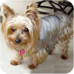 Yorkie, Yorkshire Terrier Mix Dog for adoption in Jacksonville, Florida - Anna