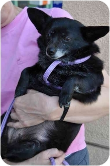 Pomeranian/Chihuahua Mix Dog for adoption in Los Angeles, California - Coco
