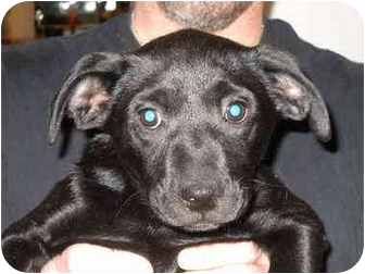 Labrador Retriever Mix Puppy for adoption in Broadway, New Jersey - Sally