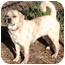 Photo 3 - Pug/Labrador Retriever Mix Dog for adoption in Osseo, Minnesota - Parker