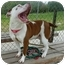 Photo 3 - American Pit Bull Terrier Dog for adoption in San Clemente, California - LUCY