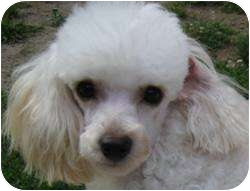 Poodle (Toy or Tea Cup) Dog for adoption in Dover, Massachusetts - Jazzy