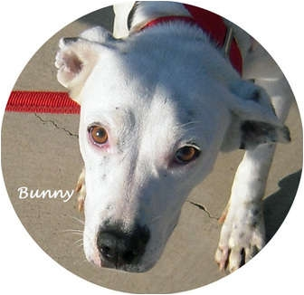 Dalmatian Mix Puppy for adoption in Mandeville Canyon, California - Bunny