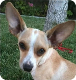 Chihuahua Mix Dog for adoption in Irvine, California - BODIE