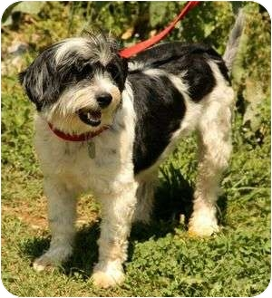 Shih Tzu/Lhasa Apso Mix Dog for adoption in Hagerstown, Maryland - Sophie 2