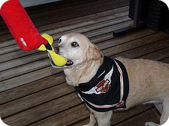 Labrador Retriever Mix Dog for adoption in Bradenton, Florida - Nina