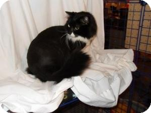 Domestic Longhair Cat for adoption in Milwaukee, Wisconsin - Ifull-IN FOSTER CARE