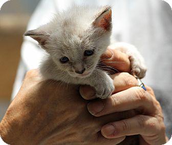 Siamese Kitten for adoption in Jacksonville, Florida - Troy