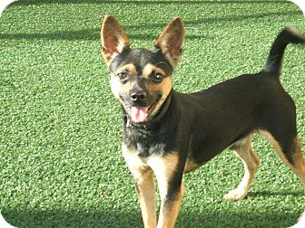 Chihuahua/Miniature Pinscher Mix Dog for adoption in lake worth, Texas - chico