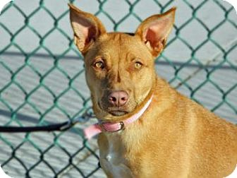 American Pit Bull Terrier Mix Dog for adoption in Cheyenne, Wyoming - Aleah