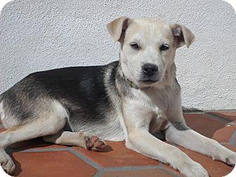Husky/Labrador Retriever Mix Puppy for adoption in Irvine, California - BENGALI
